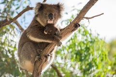 Baby koala and koala mother. Koala baby bear is sitting on the back of her koala mother stock photography