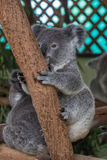 Baby koala sitting in a tree Royalty Free Stock Images