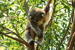 Baby koala sleeping in a tree. Young bay koala sleeping in an eycaliptus tree in Australia Royalty Free Stock Images