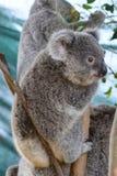Baby Koala. Wildlife Sydney Zoo. New South Wales. Australia Stock Image