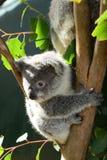 Baby Koala. Wildlife Sydney Zoo. New South Wales. Australia Royalty Free Stock Image