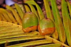 Baby-Kokosnuss 4 Stockfotografie