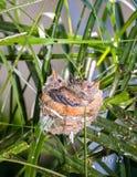 2 Baby-Kolibris, die im Bett stillstehen Stockfotos