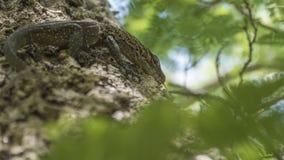 Baby Komodo dragon hiding on a tree Stock Photo