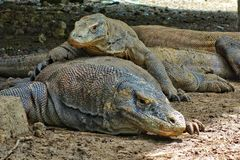 A baby Komodo Dragon lays on top it& x27;s Mother, Komodo Islands, Indonesia royalty free stock image