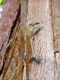 Baby Komodo dragon Royalty Free Stock Photography