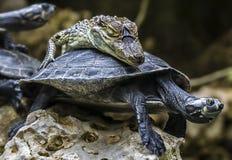 Baby-Krokodil, das eine Schildkröte reitet Stockfotos