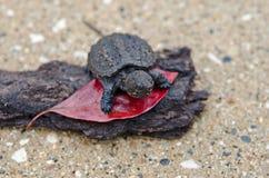 Baby låsande fast sköldpadda Royaltyfri Fotografi