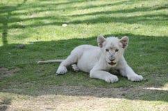 Baby-Löwe stockfotografie