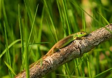 Baby Lacerta viridis or bilineata Royalty Free Stock Images