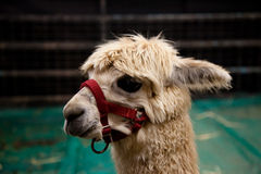 Baby lama Royalty Free Stock Image