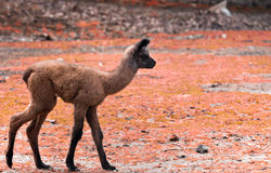 Baby Lama Royalty Free Stock Images
