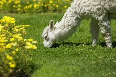 Baby lama feeding on grass surrounded with yellow flowers Stock Image