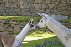 A baby lama and female lama are kiss each other in Machu Picchu area. royalty free stock image