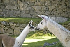 A baby lama kisses mommy lama in Machu Picchu area. royalty free stock photos