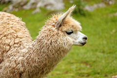 Baby Lama Royalty Free Stock Photography