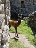 Baby lama at Machu Picchu Royalty Free Stock Image