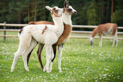Baby lamas playing together Royalty Free Stock Image