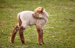 Baby lamb. Two weeks old baby lamb in springtime Royalty Free Stock Photography