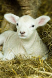 BAby Lamb. A newborn baby lamb laying in some hay Stock Images