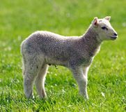 Baby Lamb Royalty Free Stock Photos