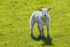 Baby lamb. Young baby  lamb in farmers field Royalty Free Stock Photography