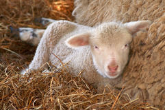 Baby Lamb Stock Photos