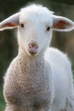 A baby lamb. In a field in the spring stock images