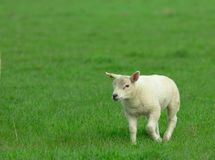 Baby lamb. A cute baby lamb in the field stock image