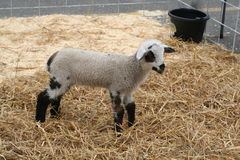 Baby lamb. Side view of baby lamb on straw in pen Royalty Free Stock Images