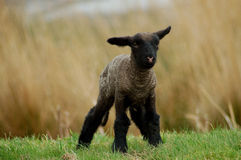 Baby lamb Stock Photo