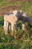 Baby lamb Royalty Free Stock Image