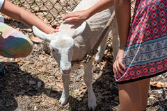 Baby Lamb. Being petted on farm royalty free stock photo