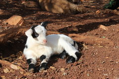 Baby lamb. Black and white baby lamb lying in the sun on brown ground royalty free stock images