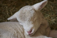 Baby lamb closeup Stock Image