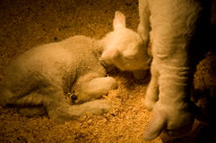 A baby lamb curled in a pen near her mom Stock Image