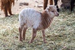 Baby lamb Stock Photos