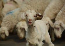 Baby Lamb. A cute smiling baby lamb stock photos
