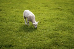 Baby lamb face. Cute animal standing meadow at Yorkshire Sculptu Stock Photo