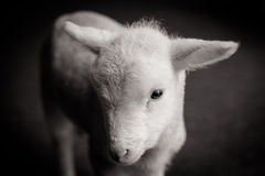 Baby Lamb Face Royalty Free Stock Photography