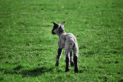 Baby lamb in green pasture royalty free stock photos
