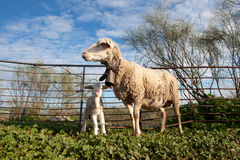 Baby lamb and her maternal sheep Stock Photography