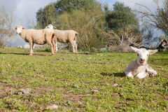 Baby lamb and her maternal sheeps Royalty Free Stock Images
