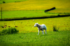 Baby lamb on the hill Stock Image