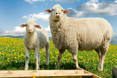 Baby lamb and his mother Royalty Free Stock Image