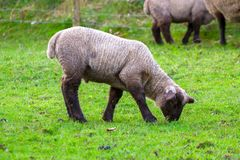 Baby lamb on the meadow. Baby lamb on Irish meadow Royalty Free Stock Images