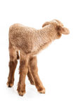 Baby lamb isolated on white background. Cute little brown baby lamb isolated on white backgorund Stock Images