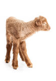 Baby lamb isolated on white background. Cute little brown baby lamb isolated on white backgorund Royalty Free Stock Photo