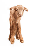 Baby lamb isolated on white background Stock Photos