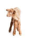 Baby lamb isolated on white background Stock Photo